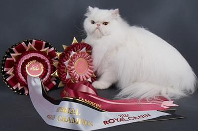 Imperial Grand Champion Palchinno Snow Cloud